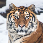 USDA Statement on the Confirmation of COVID-19 in a Tiger in New York
