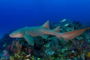 The Pew Charitable Trusts Nurse Shark