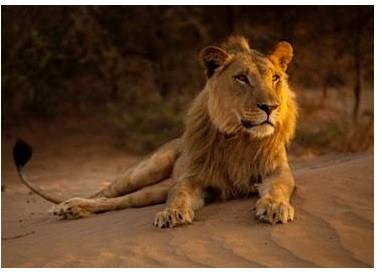 KING OF THE DESERT LIONS Wildlife Docu